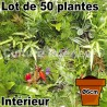 Lot de 50 plantes pot Ø6cm pour mur végétal intérieur