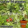 Lot de 50 plantes pot Ø9cm pour mur végétal intérieur