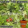 Lot de 100 plantes pot Ø9cm pour mur végétal intérieur