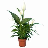 Plantes fleuries d'intérieur - MonJardinVertical.fr