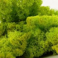 Lichens stabilisés des forêts scandinaves - MonJardinVertical.fr