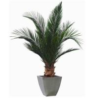 Palmiers stabilisés